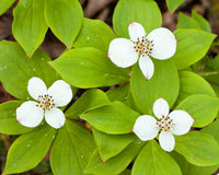 Bunchberry flowers Cornus canadensis blooming Stock Images