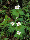 Bunchberry Flowers. Dogwood Family, four white petal-like bracts above a whorl of dew covered leaves Stock Image