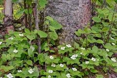 Bunchberry que florece alrededor de tronco de árbol Imagen de archivo libre de regalías