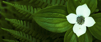 Bunchberryblomma Royaltyfri Fotografi
