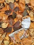 Bunchberrylövverk och skäll för vit björk på höstligt skoggolv arkivfoto
