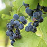 Bunche of blue grapes Royalty Free Stock Images