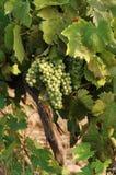 Bunche dell'uva nella vigna della Corsica Fotografia Stock Libera da Diritti