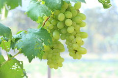 Bunche der grünen Trauben auf Rebe Lizenzfreie Stockfotografie