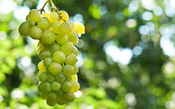 Bunche of green grapes Royalty Free Stock Photos