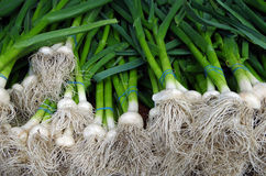 Bunched green scallions with bulbs and roots. Green scallions with bulbs and roots for market royalty free stock image
