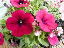 Bunched up together. Rich pink pansy flowers with a dark centre surrounded with rich green leaves royalty free stock images