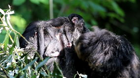 Bunched white-faced saki family with baby Stock Image