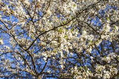 Bunches of appe tree blossom with white flowers against the blue sky background. Bunches of apple tree blossom with white flowers on blue sky background royalty free stock images