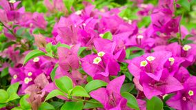 Bunches of beautiful pink Bougianvillea petals and petite white pistils on green leaves background stock photos
