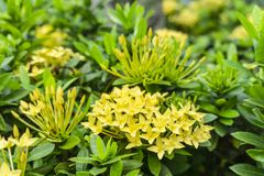 Bunches beautiful yellow petite petals Ixora hybrid know as west Indian jasmine or jungle flame, blooming on dark green leaves stock photo