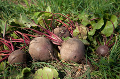 Bunches of beets Royalty Free Stock Photography