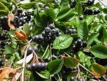 Bunches of black chokeberry, black chokeberry in the autumn garden. stock photos