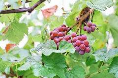 Bunches of black grape with water drops Royalty Free Stock Images
