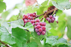 Bunches of black grape with water drops Royalty Free Stock Photos