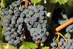 Bunches of black grapes Royalty Free Stock Images