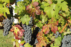 Bunches of black grapes Royalty Free Stock Photography
