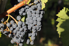 Bunches of black grapes Stock Image