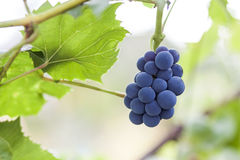 Bunches of black grapes on vine, bright blurred background, copy Royalty Free Stock Images