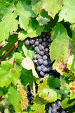 Bunches of black grapes Stock Photography