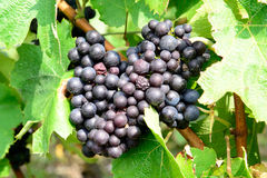 Bunches of black grapes Royalty Free Stock Image