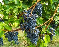 Bunches of black grapes in the vineyards Stock Image