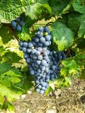 Bunches of black grapes in the vineyards Royalty Free Stock Images