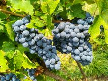 Bunches of black grapes in the vineyards Royalty Free Stock Photography
