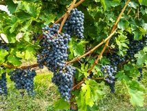 Bunches of black grapes in the vineyards Royalty Free Stock Photo