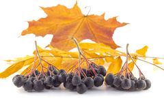 Bunches of black rowan on autumn leaves. On a white background Royalty Free Stock Images