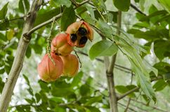 Branch With Ackee stock image