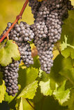 Bunches of blue grapes hanging on vine. In vineyard surrounded by green leaves Stock Photos