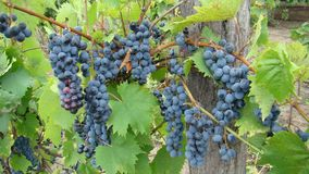 Bunches of blue grapes. Royalty Free Stock Image