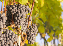 Bunches of blue grapes on vine. Royalty Free Stock Image
