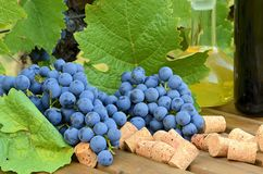 Bunches of blue grapes on wooden table.  Blue grapes just after harvest, some corks and wine bottle. Bunches of blue grapes on wooden table.  Blue grapes just Stock Image