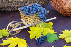 Bunches of blue grapes with yellow leaves Royalty Free Stock Images