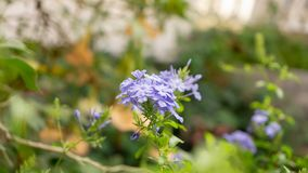 Bunches of blue tiny petals of Cape leadwort blooming on greenery leaves and blurry background, know as white plumbago. Bouquet of blue tiny petals of Cape stock photos