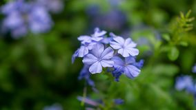 Bunches of blue tiny petals of Cape leadwort blooming on greenery leaves and blurry background, know as white plumbago. Or sky flower stock image