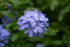 Bunches of blue tiny petals of Cape leadwort blooming on greenery leaves and blurry background, know as white plumbago. Or sky flower stock photography