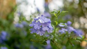 Blue tiny petals of Cape leadwort blooming on greenery leaves and blurry background, know as white plumbago or sky flower. Bunches of blue tiny petals of Cape stock images