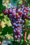 Bunches of blue wine grapes on vine Stock Image