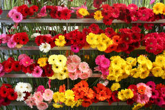 Bunches of bright gerber daisies. Racks of gerber daisies in a nursery, CA Stock Photo