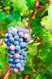 Bunches of Cabernet Grapes Royalty Free Stock Photos