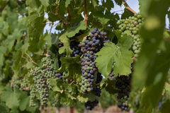 Bunches of California wine grapes changing color during veraison Royalty Free Stock Photo