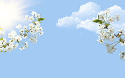 Bunches of cherry blossom Royalty Free Stock Image