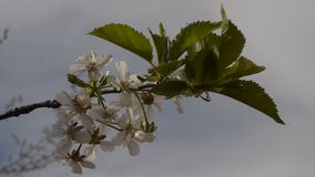 Bunches of cherry blossom stock footage