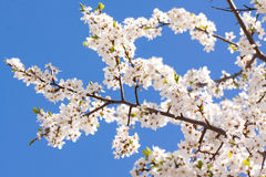 Bunches of cherry blossom Royalty Free Stock Photo