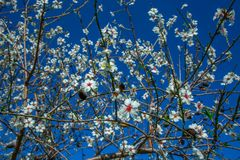 Bunches of cherry blossom with white flowers against the blue sky on background stock image