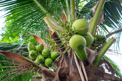 Bunches of coconuts on coconut tree Royalty Free Stock Photography
