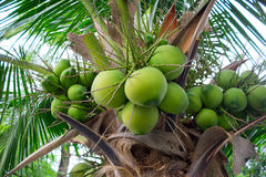 Bunches of coconuts on coconut tree Royalty Free Stock Photo